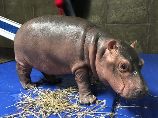 Fiona the Hippo November 26 2017